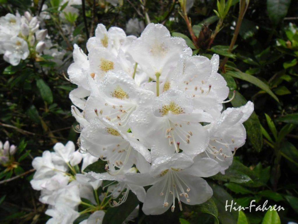 Auch Rhododendron, Azaleen und Magnolien blühen an der Alabasterküste #Blüte