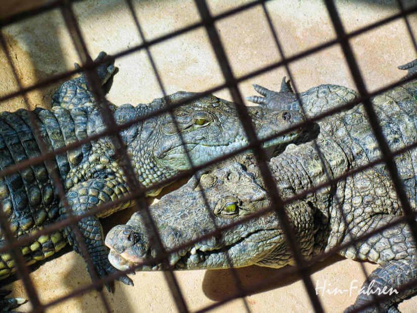 Reisetipp Normandie mit Wohnmobil: Krokodile in der Nähe des Mont Saint Michel