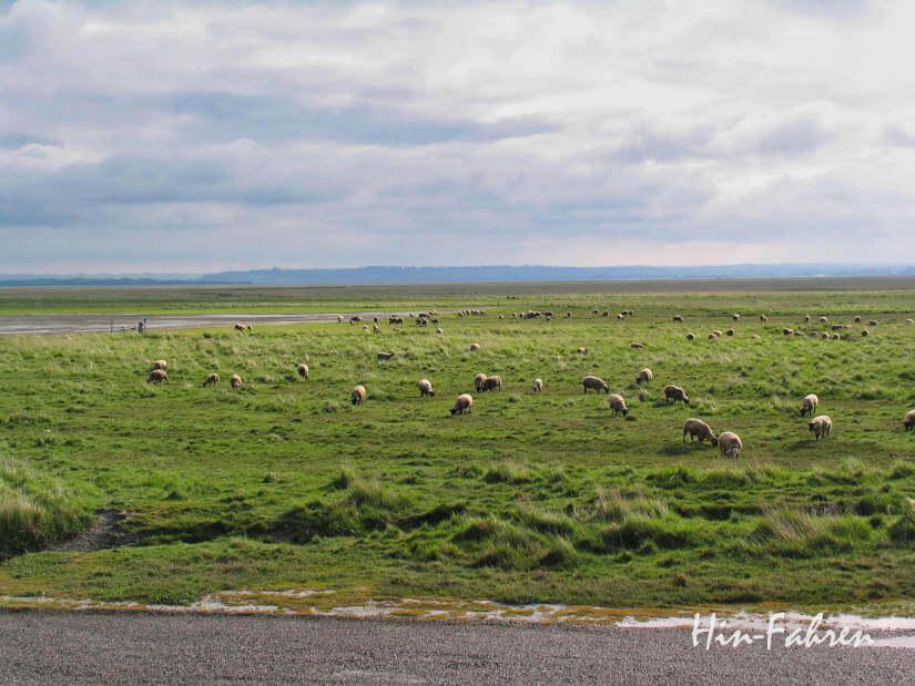 Reiseführer Normandie mit Wohnmobil: Schafe auf einer Wiese vor dem Mont-Saint-Michel
