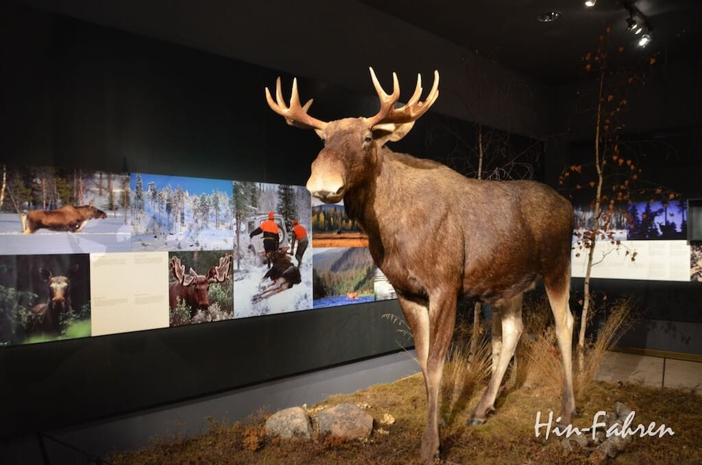 Ausstellung zum Elch im Museum Arktikum
