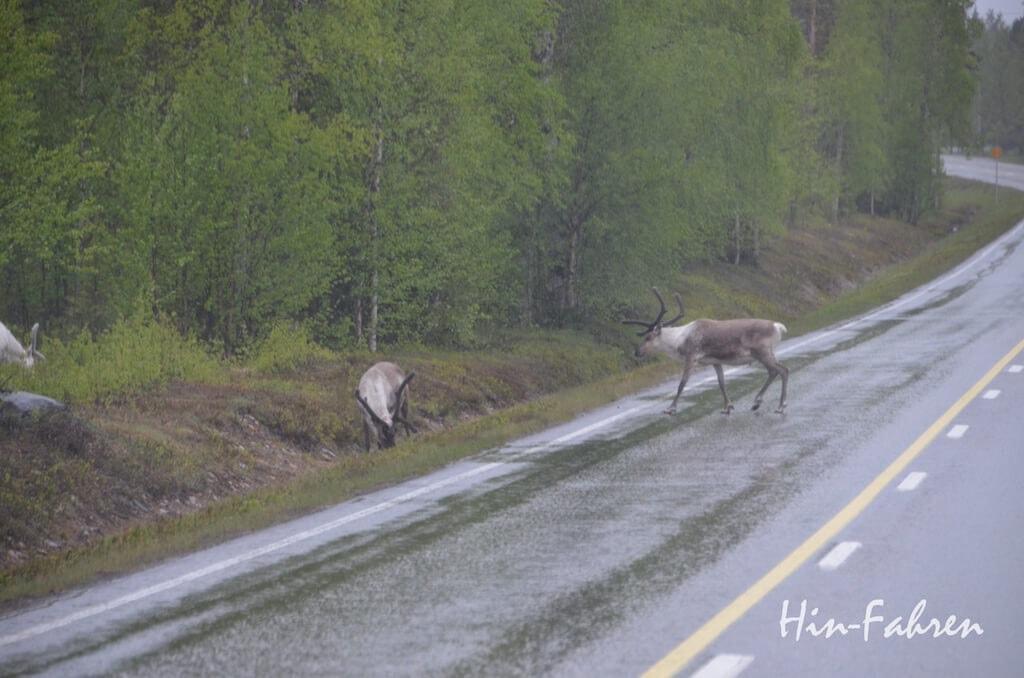 Begegnung auf der E75: Rentiere auf der Straße in Finnland