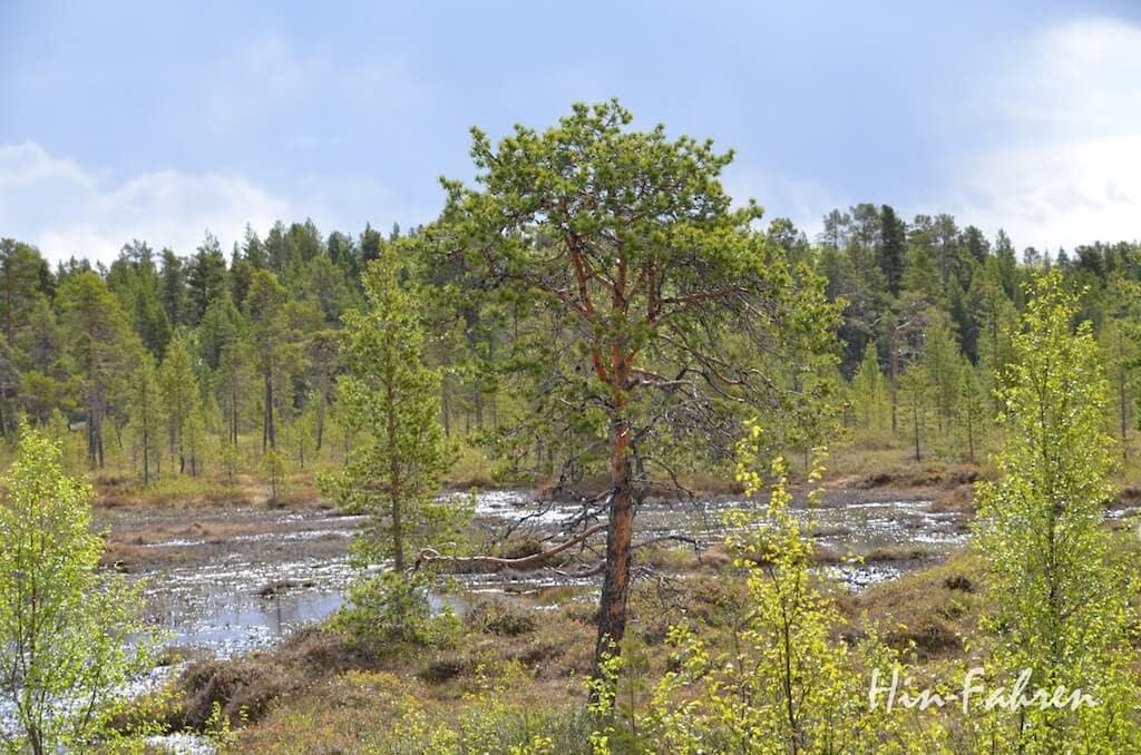 Fotostop in Finnland: Bäume und Moor wechseln sich nördlich des Inarisees ab