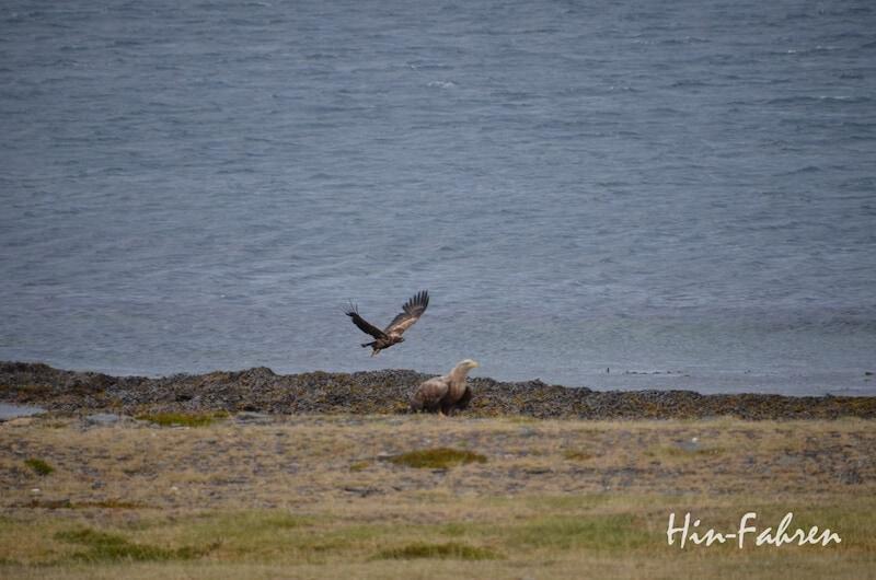 Seeadler auf Varanger