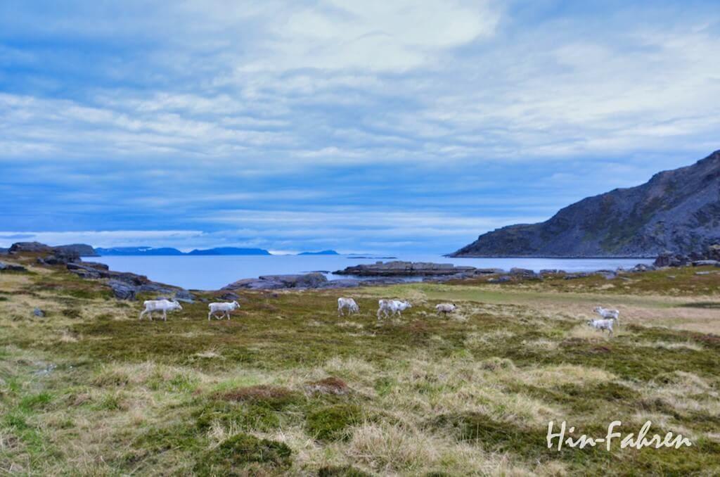 Gesehen aus dem Wohnmobil: Rentiere am Fjord in Nordnorwegen