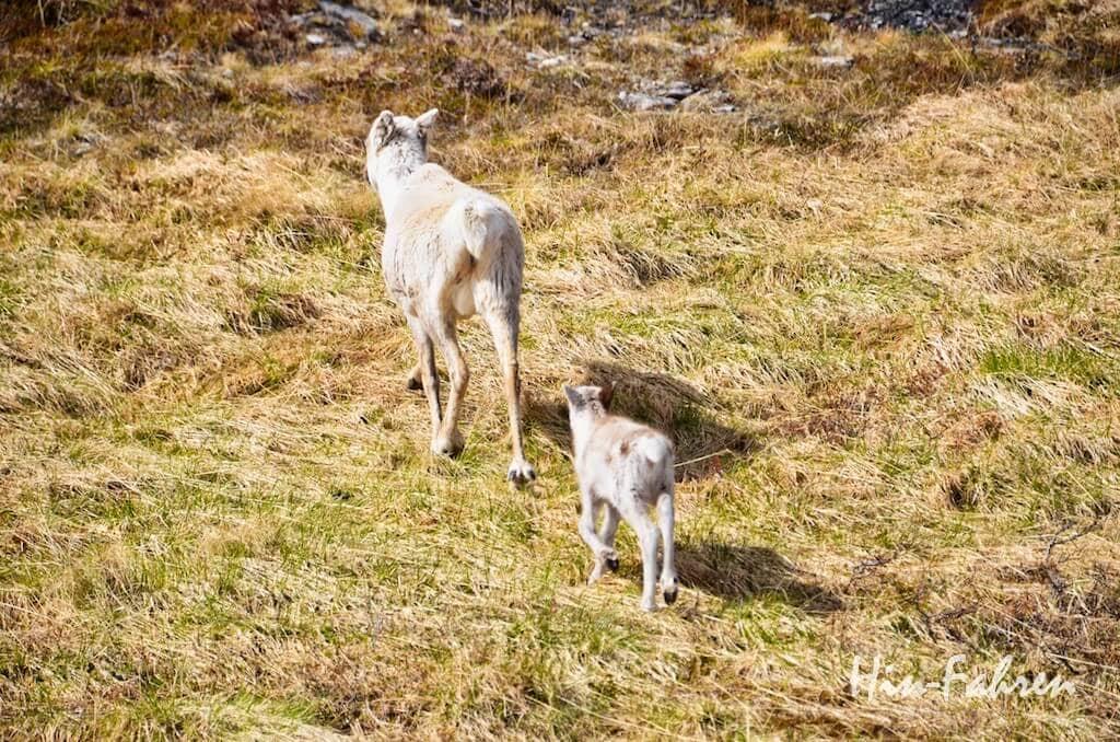 Kurz vor dem Nordkap: Das Rentierkalb folgt seiner Mutter