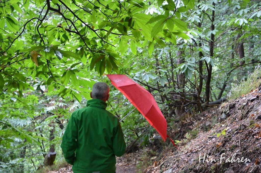 Esskastanienbäume im Pfälzerwald bei St. Martin