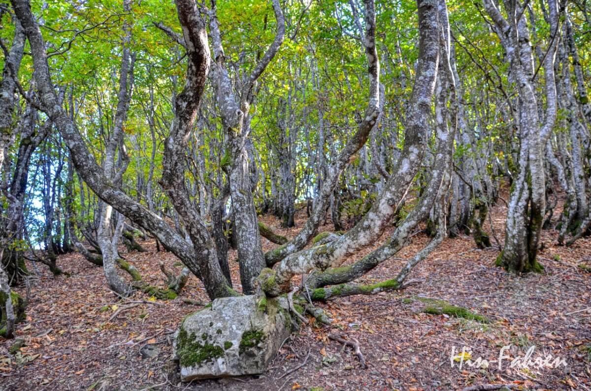 Lieblingsbild Elsass: Mit Moos besetzte Bäume