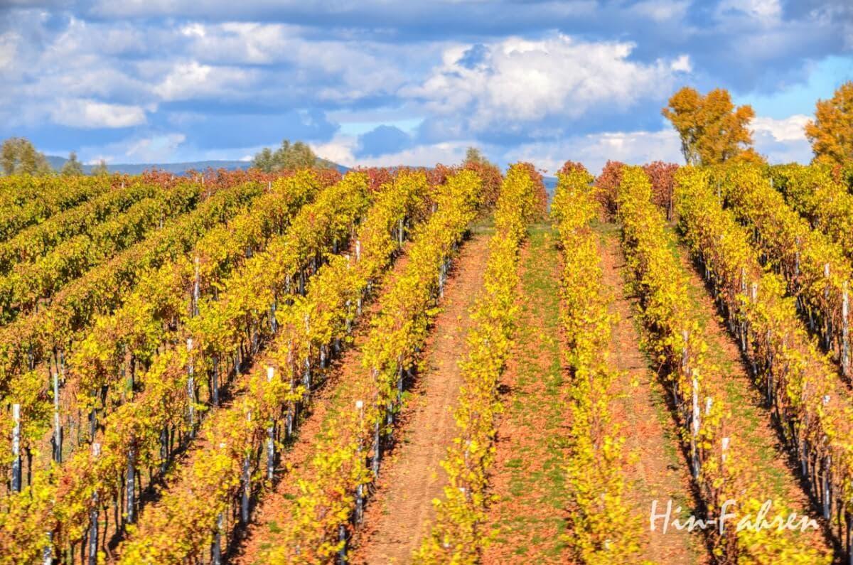 Lieblingsbilder Pfalz: Gelbe herbstliche Weinberge und blauer Himmel