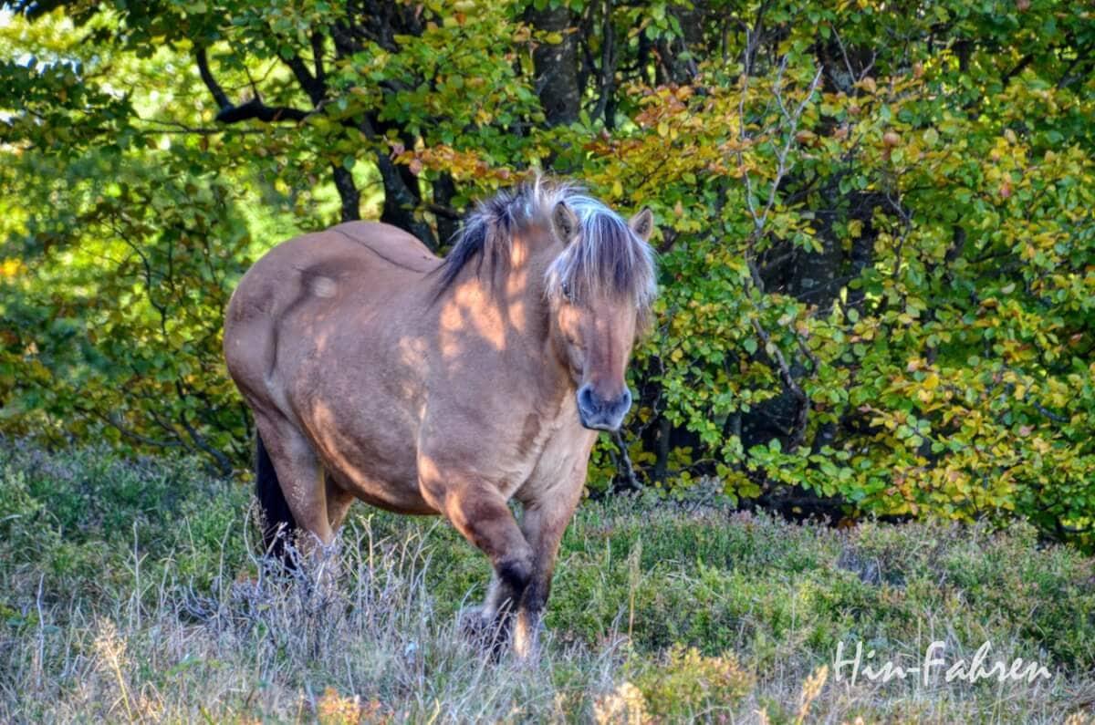 Lieblingsbild Elsass 2018: Ein Pferd kommt aus dem Wald