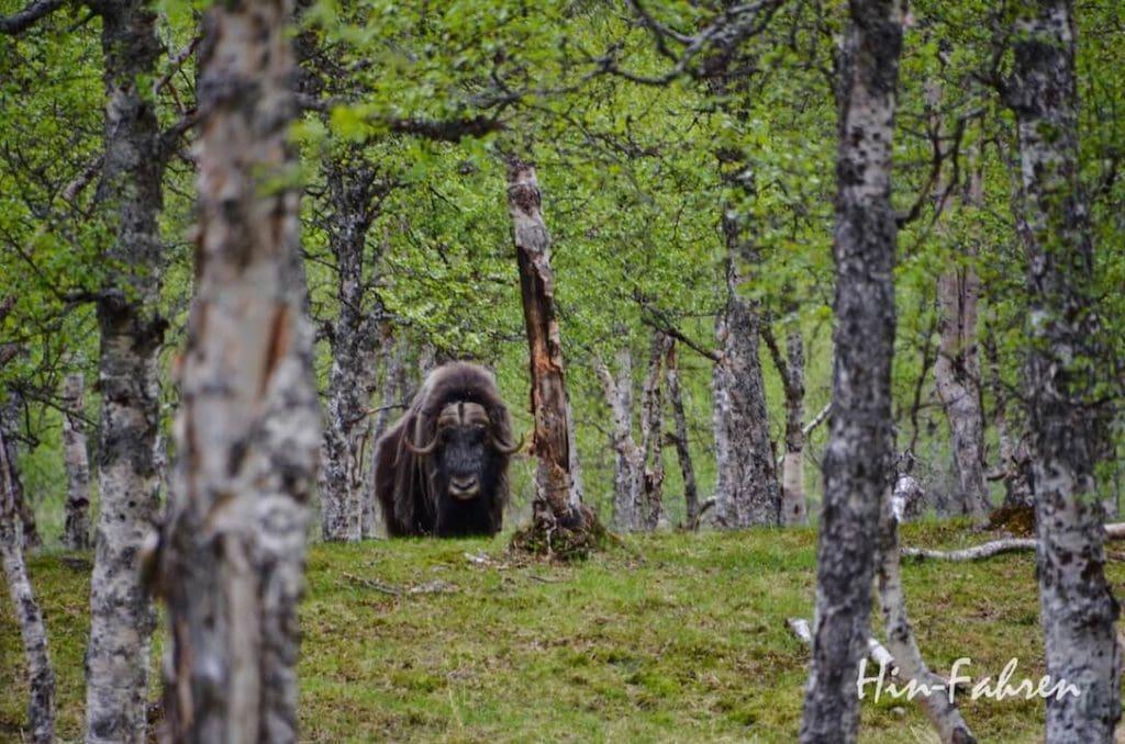Tierbegegnungen bei unserer Fahrt mit dem Wohnmobil in Norwegen