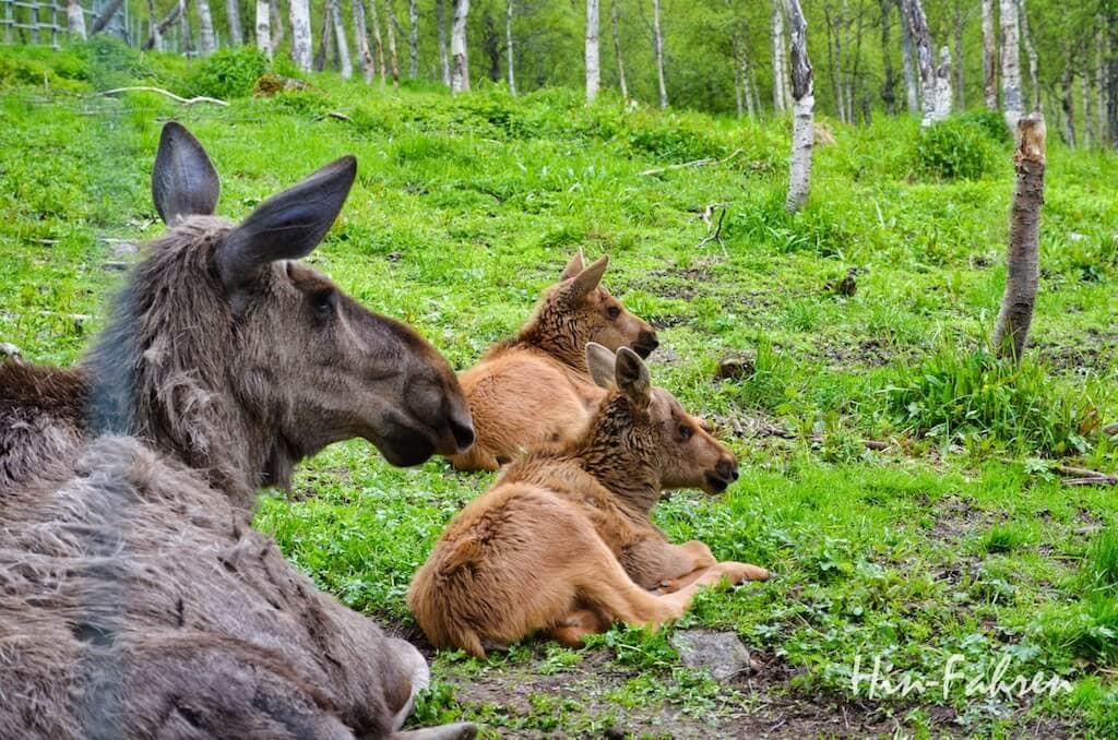 Elch und zwei Kälber im Polar Park in Norwegen