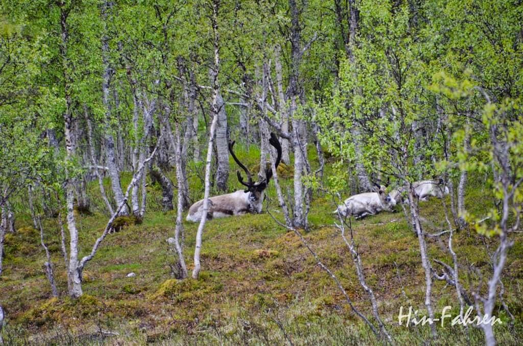 Mit dem Wohnmobil unterwegs in Norwegen: Rentiere im Polar Park