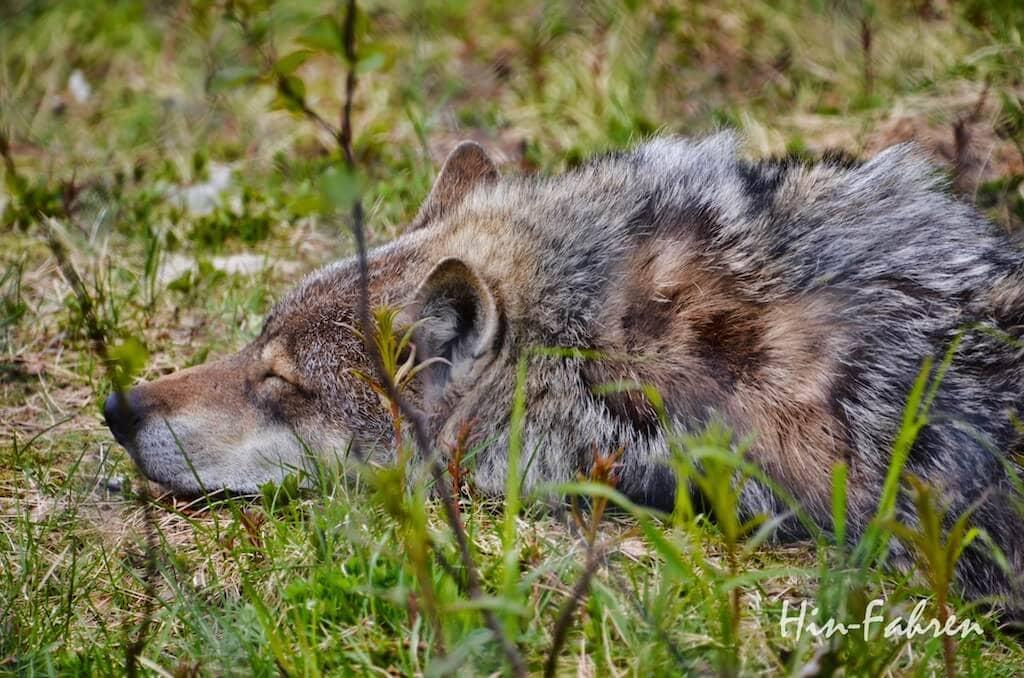 Polar Park Norwegen: Wolf schläft
