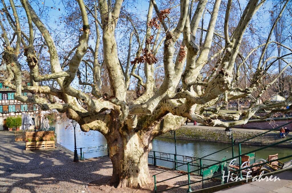Reisetipp Straßburg: Baum in der Altstadt