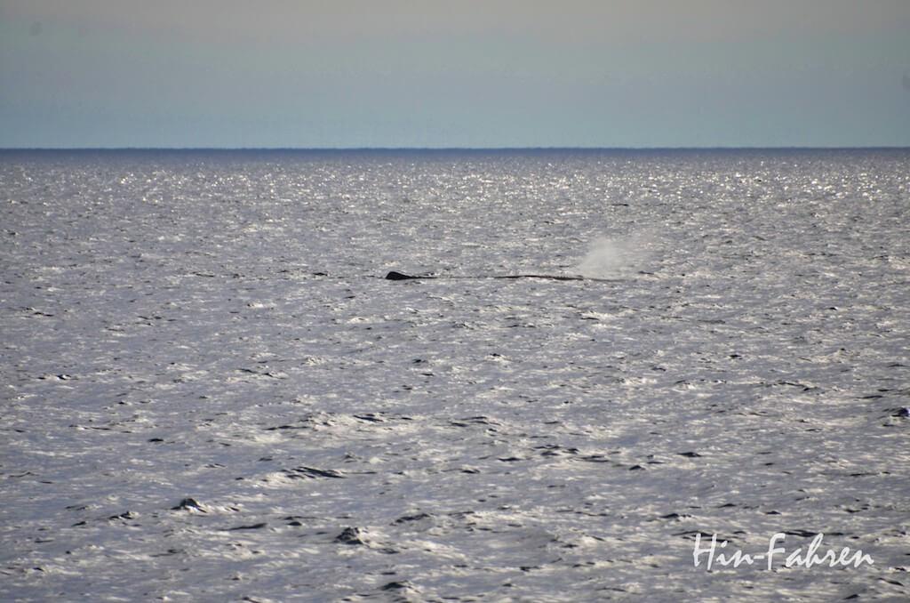 Wale beobachten in Norwegen: Blasstrahl eines Wal