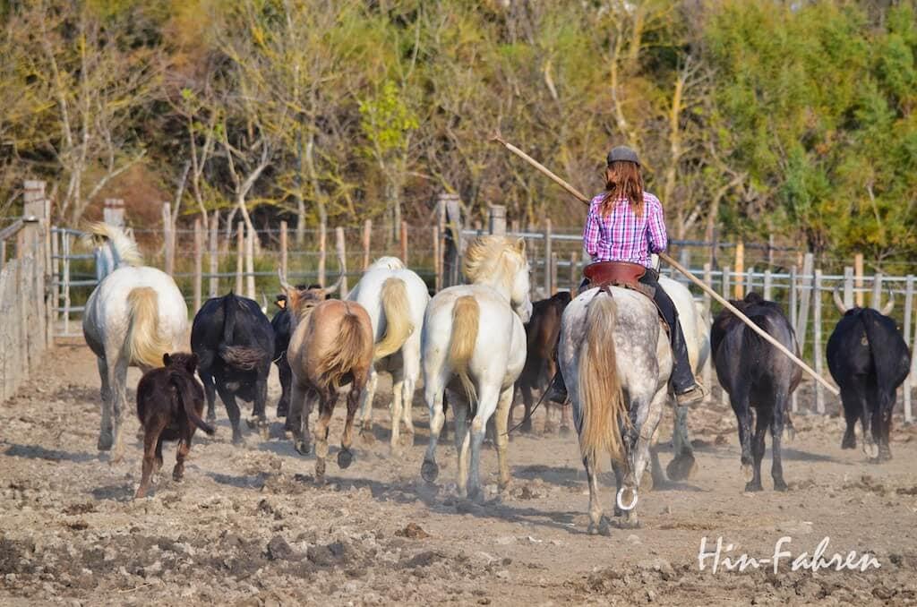 Stiere und Pferde werden getrieben