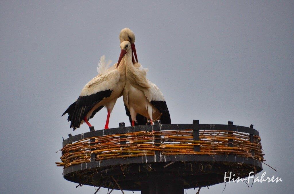 Störche im Nest bei der Balz