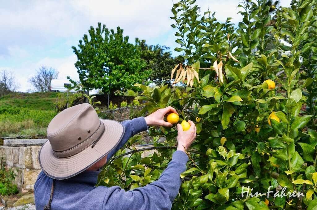 Die reifen Zitronen werden frisch vom Baum gepflückt