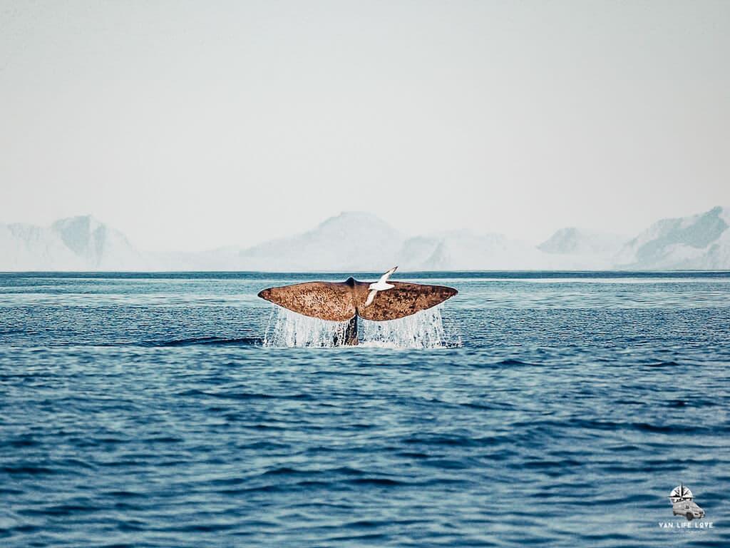 Norwegen: Wal taucht ab und zeigt seine Fluke