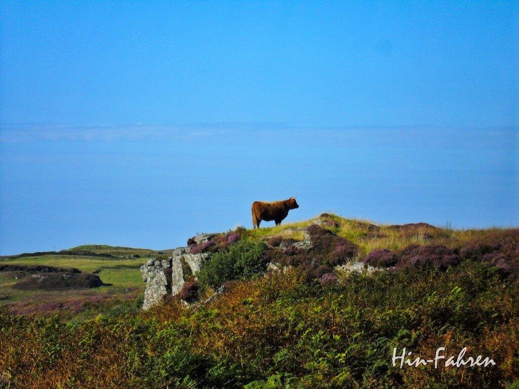 Highland-Rind in Schottland