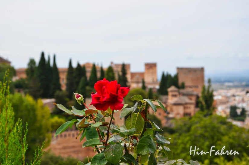 Eine letzte Herbst-Rose: Blick auf die Alhambra von Granada
