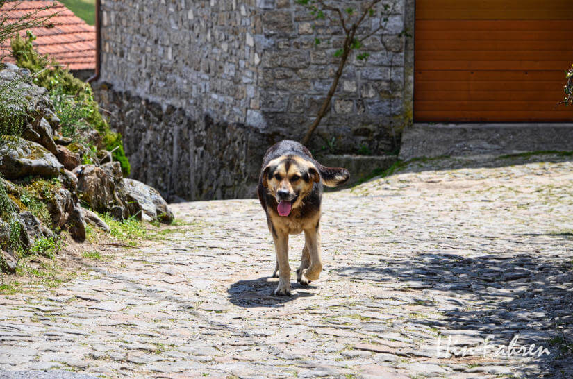 Hütehund in Portugal