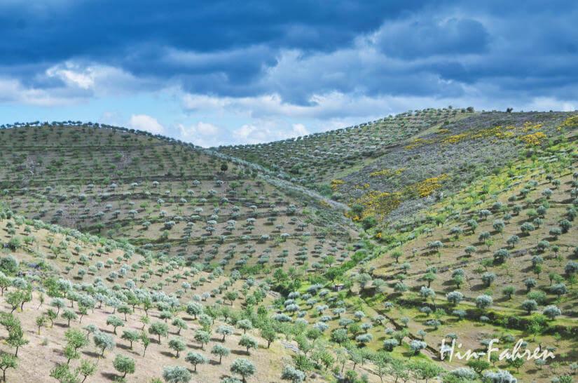 Wohnmobil-Reise: Olivenbäume in der Douro Reggion