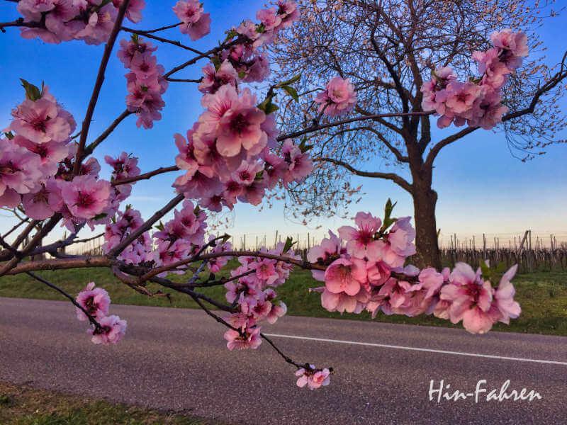 Mandelblüte Deutsche Weinstraße