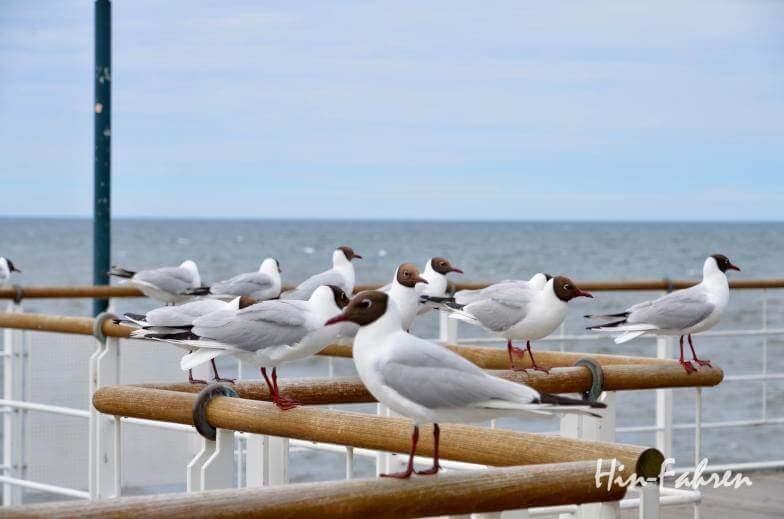 Möwen auf der Insel Usedom